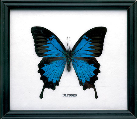 Swallowtail butterfly in frame, £17, Bugs Direct